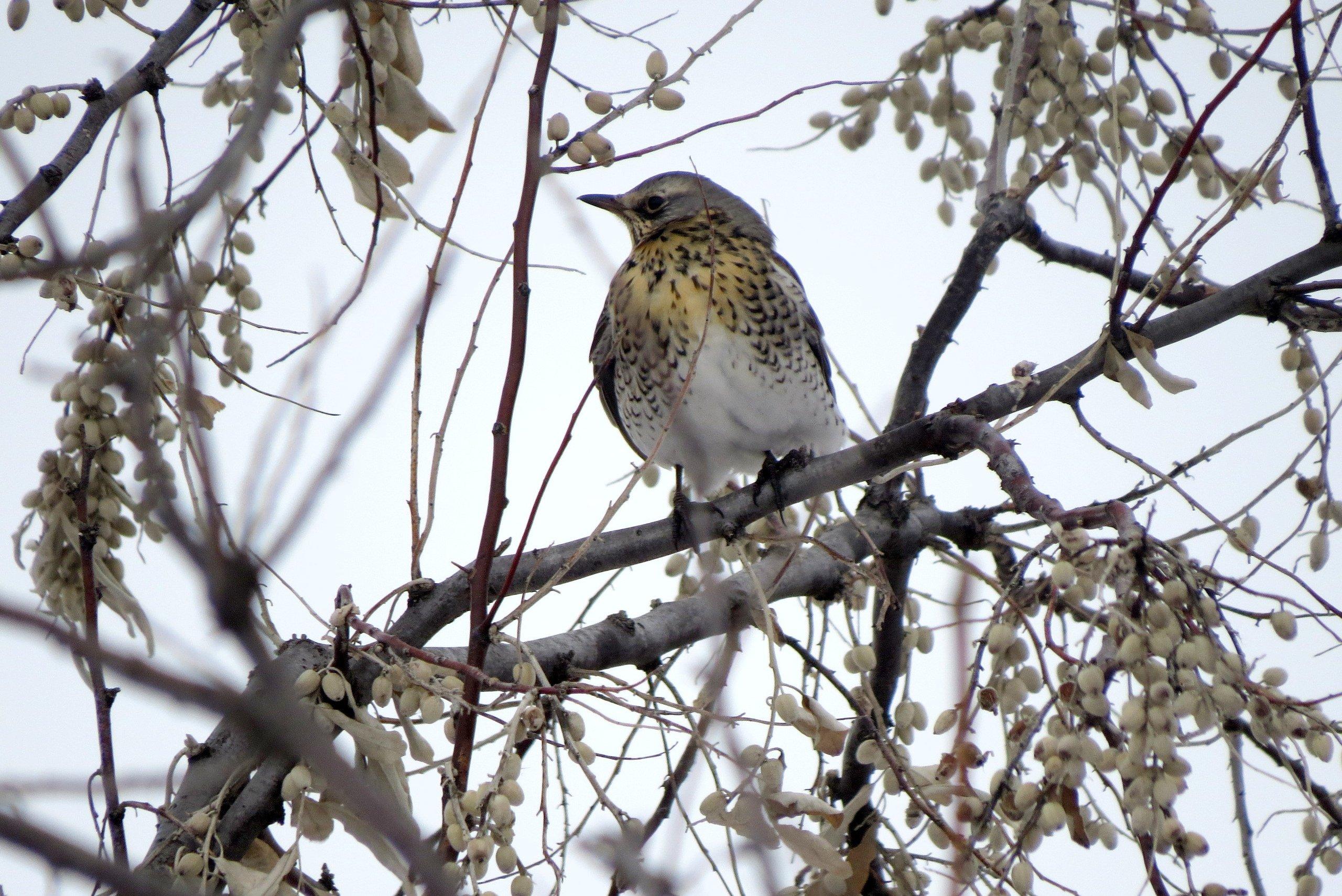 мод птицы алтайского края фото с названиями чуть погиб результате